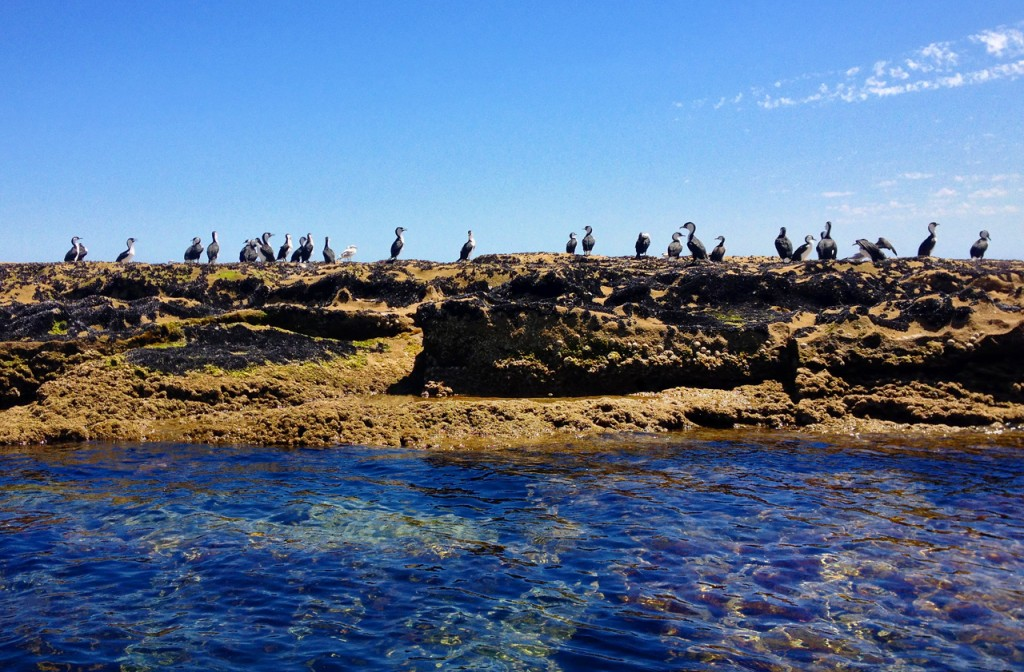 Shags on the rock of the Port Noarlunga Reef during our tour in see-through, glass bottom kayaks